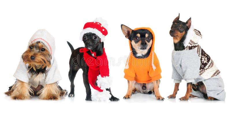 Gruppe kleine gekleidete Hunde lizenzfreie stockfotos