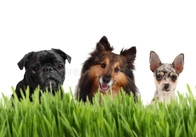 Gruppe kleine Hunde stockfotografie