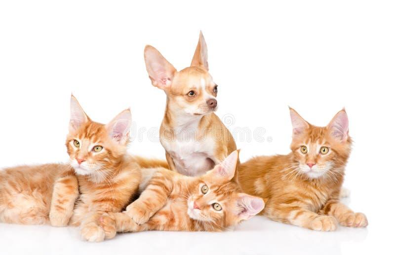 Gruppe kleine Ingwermaine-Waschbärkatzen mit kleinem Chihuahuawelpen Lokalisiert auf Weiß lizenzfreie stockfotografie