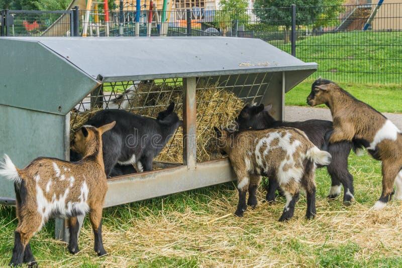 Gruppe kleine junge hungrige Ziegen, die zusammen Heu essen lizenzfreie stockfotos