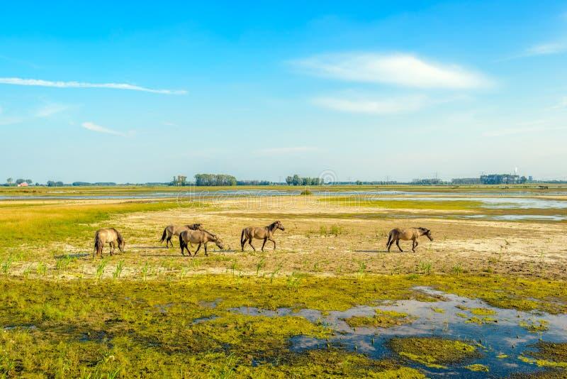 Gruppe Konik-Pferde, die in einem niederländischen Naturreservat weiden lassen lizenzfreie stockfotografie