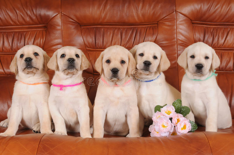 Gruppe Labrador-Welpen lizenzfreie stockbilder