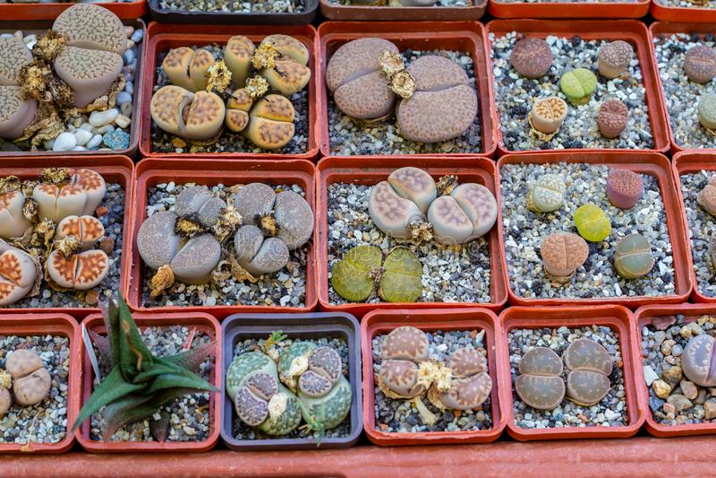 Gruppe lithops im Topf, Wüstenpflanze stockfoto