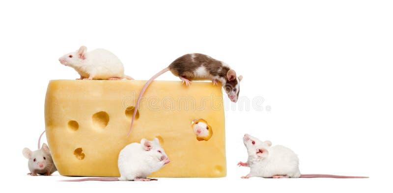 Gruppe Mäuse um ein Stück Käse lizenzfreie stockfotos