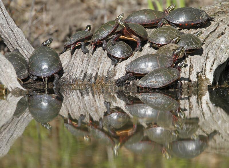 Gruppe Mittelländische Zierschildkröten auf einem Klotz stockfotografie