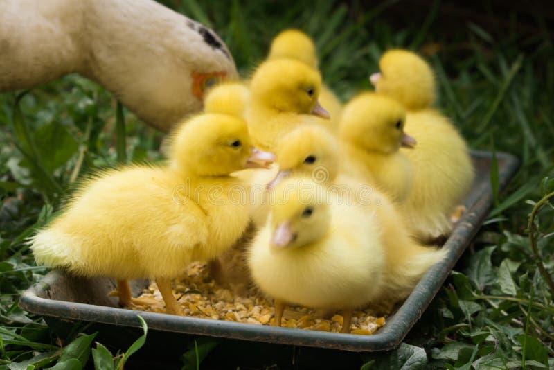 Gruppe nette gelbe flaumige Entlein im grünen Gras des Frühjahres, Tierfamilienkonzept stockfoto