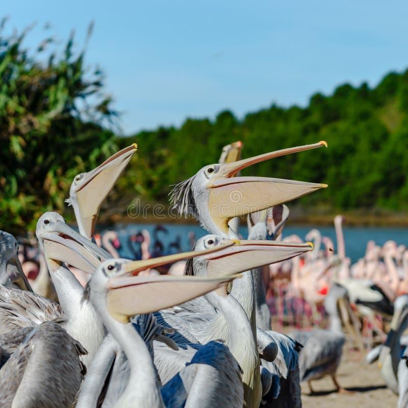 Gruppe Pelikane, die ihr Lebensmittel, Fisch, Abendessen warten und fangen stockbild