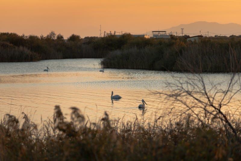 Gruppe Pelikane, die im Vistonida See, Rodopi, Griechenland während des Sonnenuntergangs schwimmen lizenzfreie stockbilder