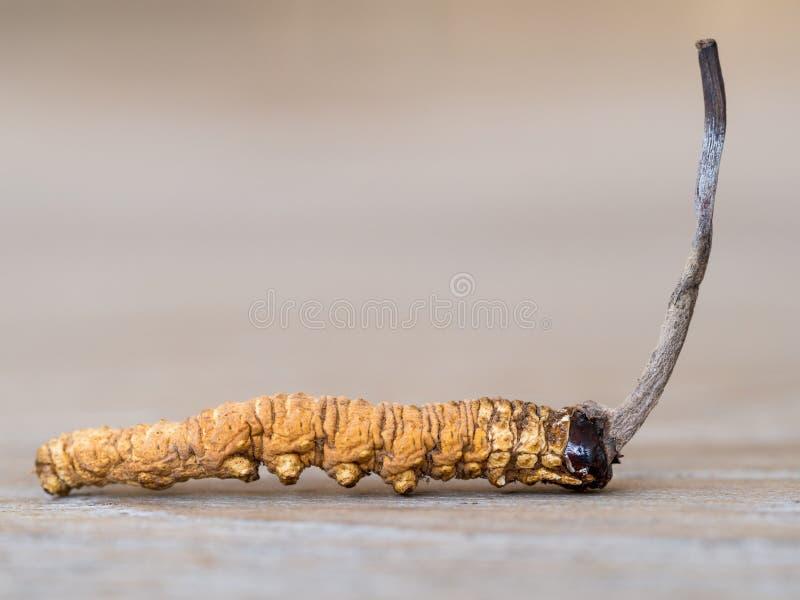 Gruppe Pilz cordyceps oder Ophiocordyceps-sinensis dieses ist Kräuter auf Holztisch Medizinische Eigenschaften in der Behandlung  lizenzfreies stockbild