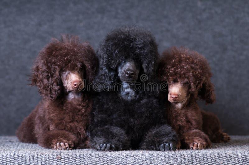 Gruppe Pudelwelpen auf grauem Hintergrund am Studio stockfotografie