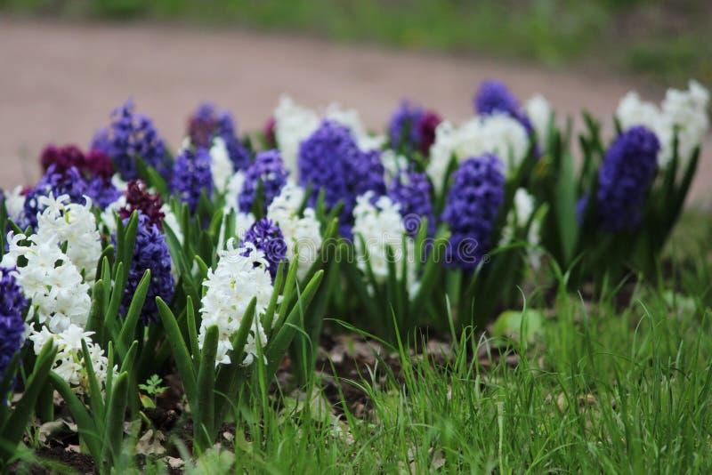 Gruppe Purpurrote, Blaue Und Weiße Hyazinthen Von Hyacinthus-Blumen ...