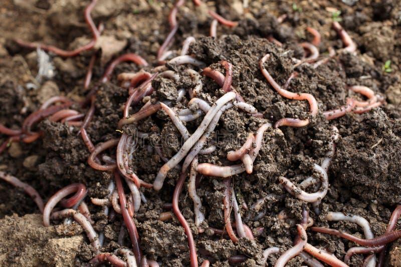 Gruppe Regenwürmer in der Erde lizenzfreies stockfoto