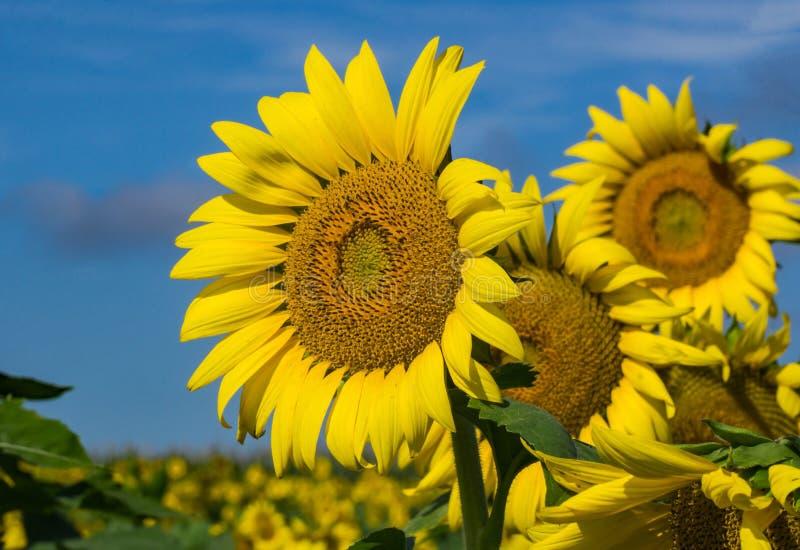 Gruppe riesige Sonnenblumen und blaue Himmel lizenzfreie stockbilder
