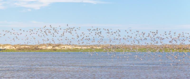 Gruppe Sanderlings bei Lagoa tun Peixe lizenzfreies stockfoto