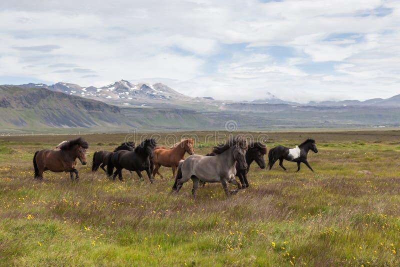 Gruppe schöne isländische Pferde von Weiß stockbild