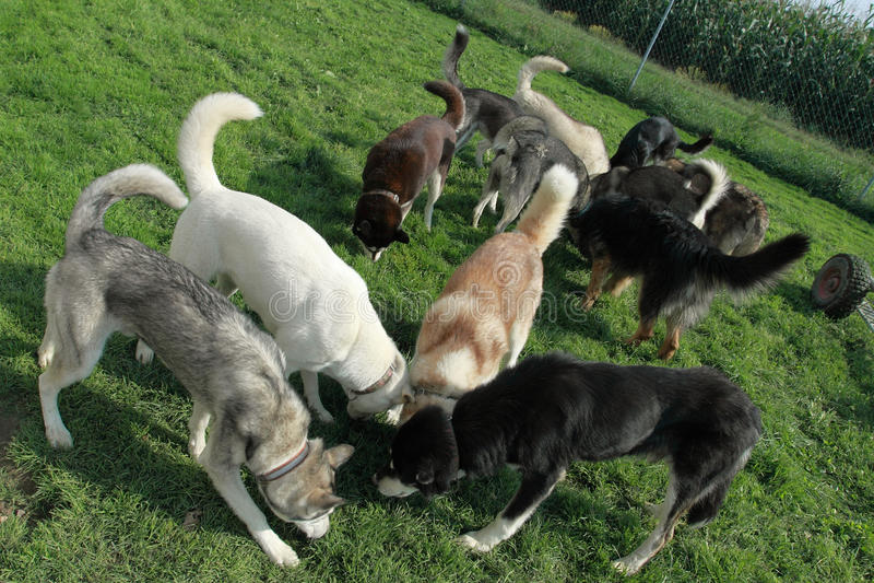 Gruppe Schlittenhunde stockbilder