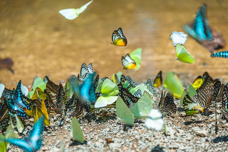 Gruppe Schmetterlinge, die aus den Grund matschig machen und in Natur fliegen stockfotografie
