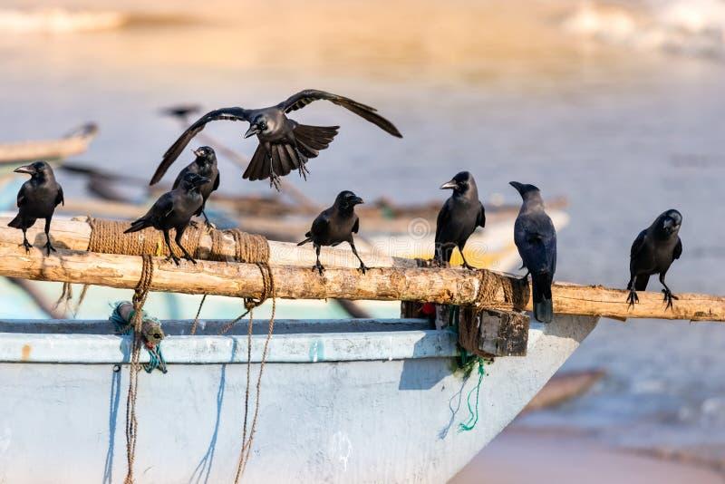 Gruppe schwarze Rabenvögel gehockt auf einem hölzernen Schiff im Strand in Galle, Sri Lanka lizenzfreie stockfotos