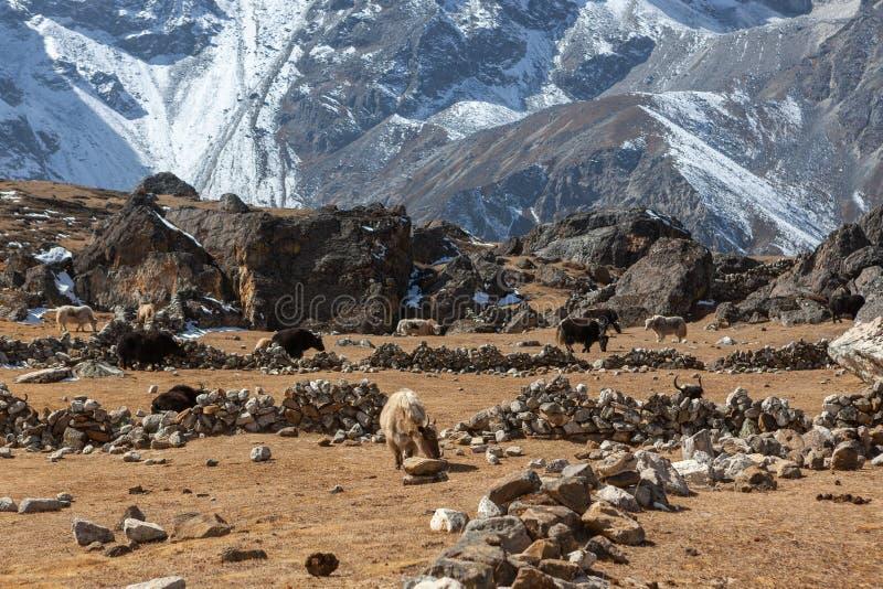 Gruppe Schwarzweiss-Nepaliyak, die an weiden lassen lizenzfreie stockfotos