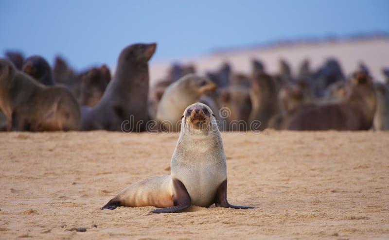 Gruppe Seelöwen auf dem Strand lizenzfreie stockfotos