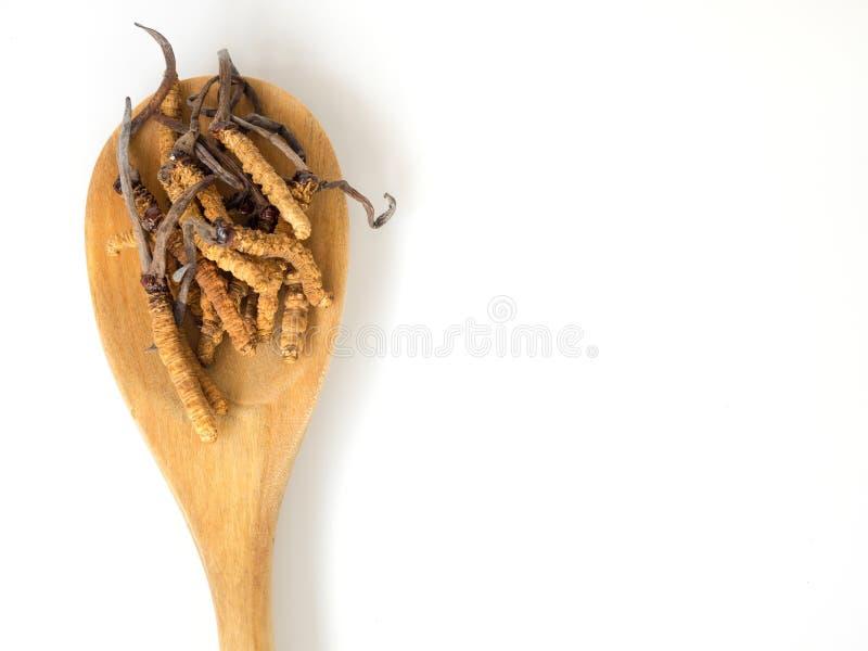 Gruppe sinensis oder Pilz Ophiocordyceps cordyceps dieses ist die Kräuter, die auf hölzernen Löffel auf Weiß lokalisiertem Hinter stockfotografie