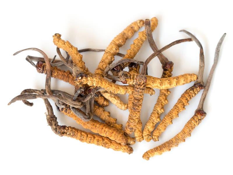 Gruppe sinensis oder Pilz Ophiocordyceps cordyceps dieses ist Kräuter auf lokalisiertem Hintergrund Medizinische Eigenschaften im stockfotos