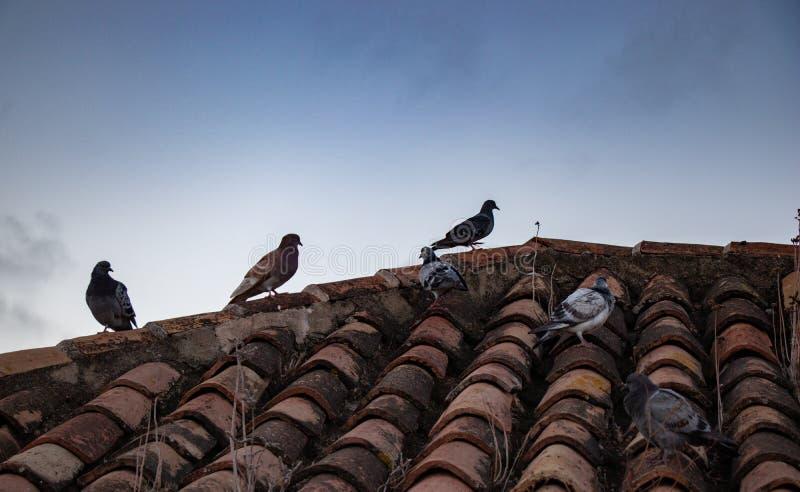 Gruppe Tauben von verschiedenen Farben auf einem Dach stockbild