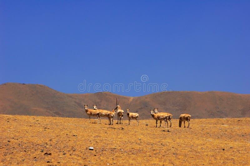 Gruppe tibetanische Antilope lizenzfreies stockfoto