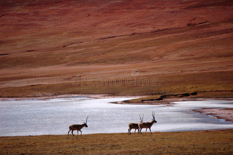 Gruppe tibetanische Antilope stockfotografie
