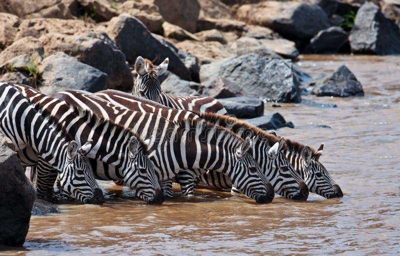 Gruppe Trinkwasser der Zebras in dem Fluss stockbilder