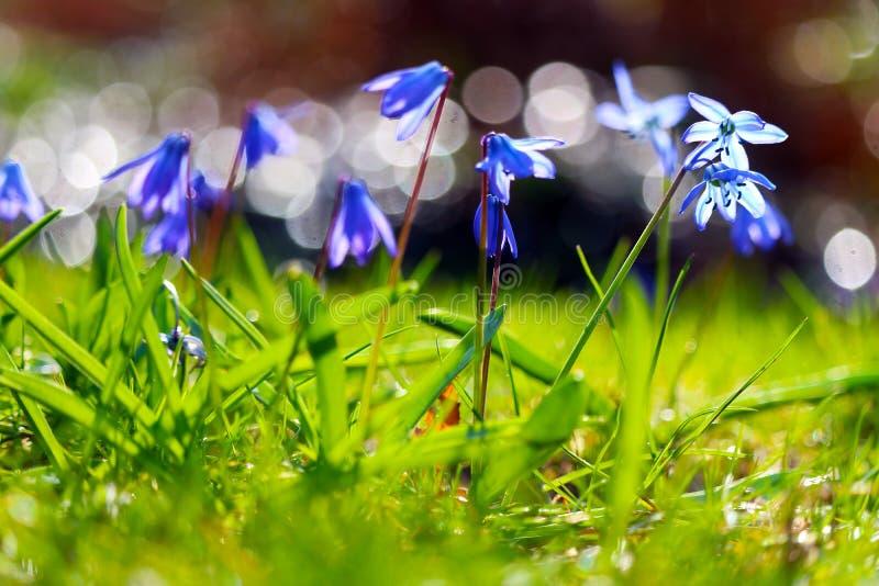 Gruppe violette blaue sibirische Meerzwiebelblumen, die hell im Frühjahr Sonne glänzen stockfotos