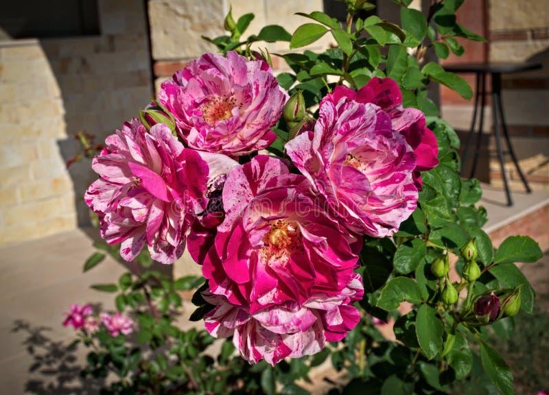 Gruppe von blühenden rosa Rosen, Abschluss oben lizenzfreies stockbild