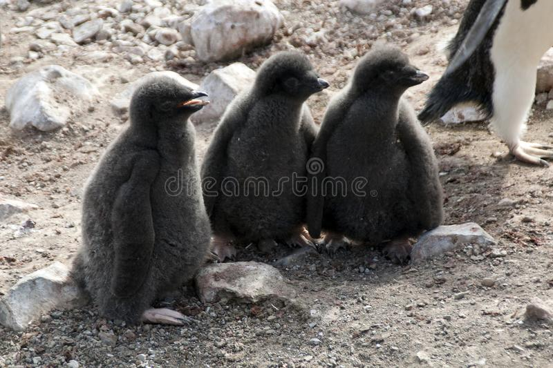 Gruppe von drei Adelie-Pinguingewordenen vögeln lizenzfreie stockfotografie