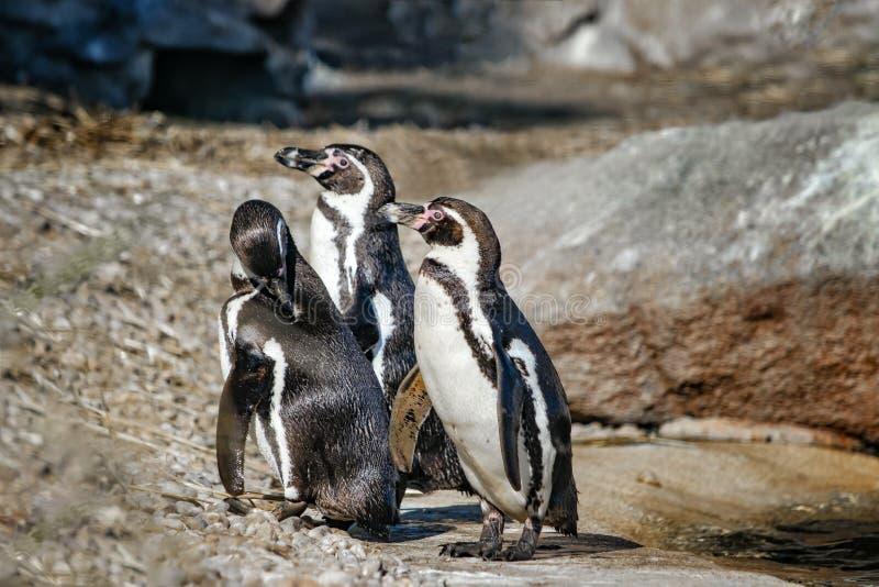 Gruppe von drei Humboldt-Pinguinen, Spheniscus humboldti, auf einem Felsen am Rand des Wassers Der Pinguin ist ein südamerikanisc lizenzfreie stockbilder