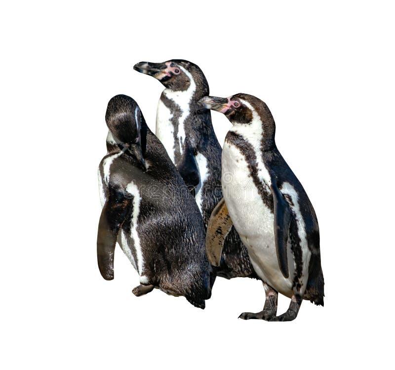 Gruppe von drei Humboldt-Pinguinen, Spheniscus humboldti, lokalisiert auf dem weißen Hintergrund Der Pinguin ist ein südamerikani stockfotos