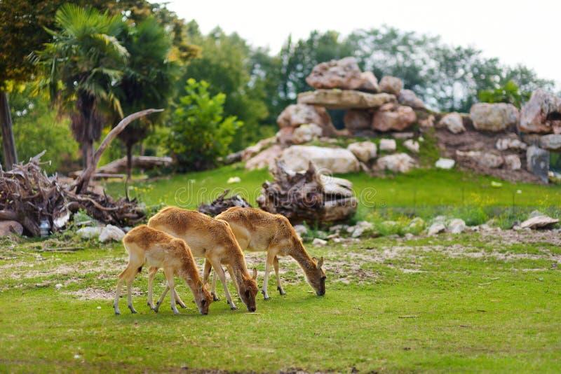 Gruppe von drei Rotwild, die in Zoo Parco Natura Viva nahe Garda See einziehen stockfotografie