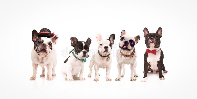 Gruppe von fünf entzückenden französischen Bulldoggen lizenzfreie stockfotos