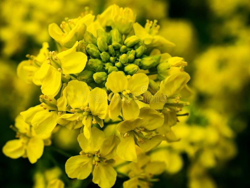 Gruppe von gelben Blumen des wilden Senfes stockfotos