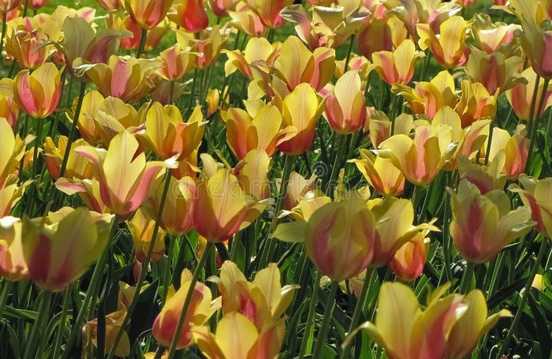Gruppe von gelben Tulpen mit Rosa und dem orange Streifen stockbild