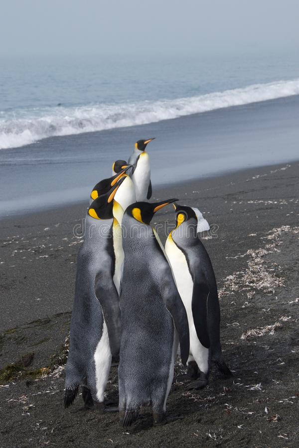 Gruppe von König Penguins lizenzfreies stockfoto