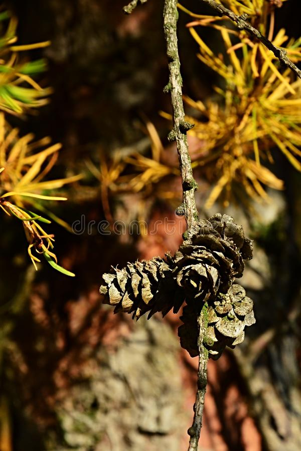 Gruppe von kleinen Kegeln und gelbe Herbstnadeln von Koniferenbaum Dahurian-Lärche, lateinischer Name Larix Gmelinii stockbild