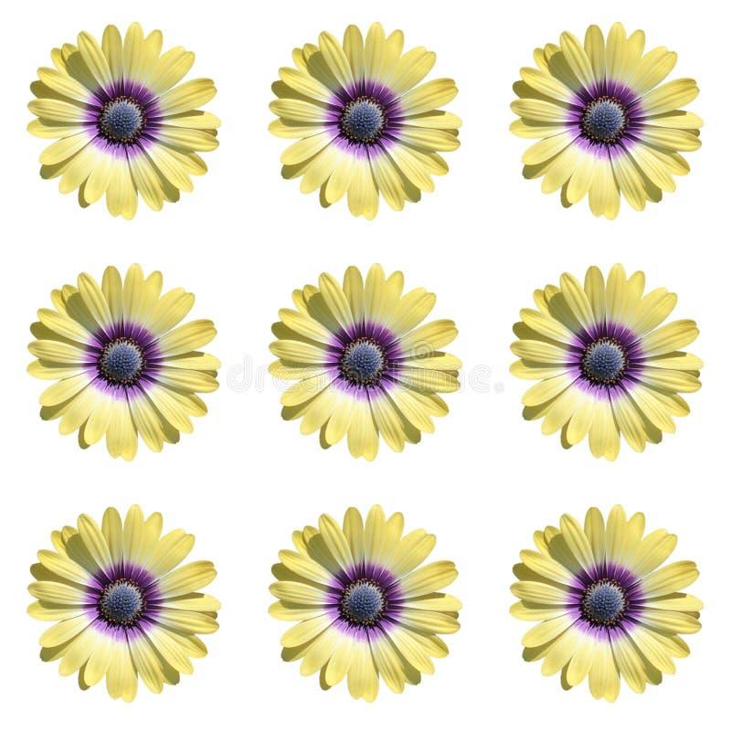 Gruppe von neun gelbe Daisy Flowers auf weißem Hintergrund stock abbildung