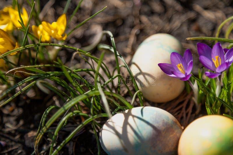 Gruppe von Ostern malte Eier auf Bett von Krokussen lizenzfreie stockfotos