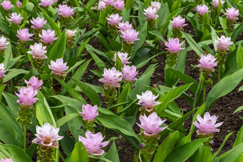 Gruppe von schönem rosa Siam Tulip lizenzfreie stockfotografie