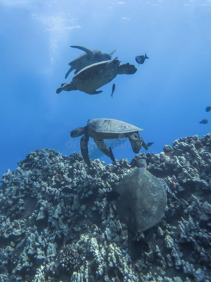 Gruppe von vier Meeresschildkröten, die im Ozean-Wasser schwimmen stockfoto
