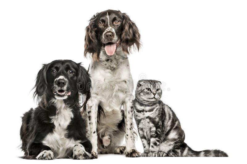 Gruppe von zwei Hunden und von schottischen Falte lizenzfreie stockfotos