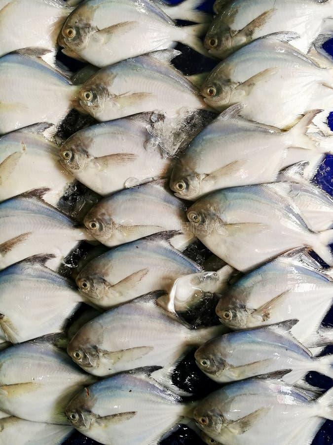Gruppe weiße Butterfische, silberne Butterfische von Pampus-argenteus Reihe für VerkaufsMeeresfruchtmarkt lizenzfreie stockfotografie