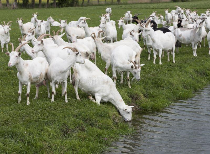 Gruppe weiße Ziegen in der grünen niederländischen Wiese im niederländischen Dr. stockfotografie