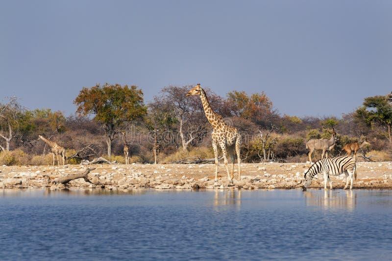 Gruppe wilde Tiere nahe einem waterhole im Nationalpark Etosha, in Namibia lizenzfreies stockbild
