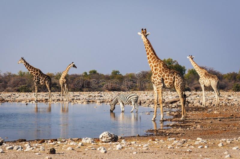 Gruppe wilde Tiere nahe einem waterhole im Nationalpark Etosha, in Namibia stockbild